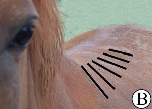 Horse with a wide back