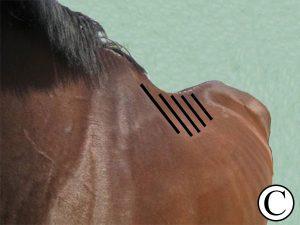 narrow horse