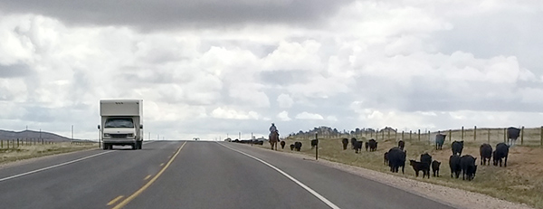 Horseback rider on cattle drive