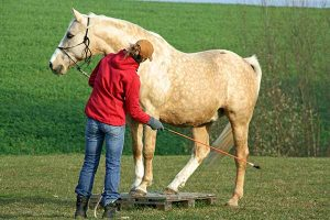 Horse trainer working a horse.